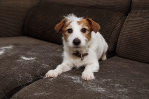 Dog Shedding on your Furniture